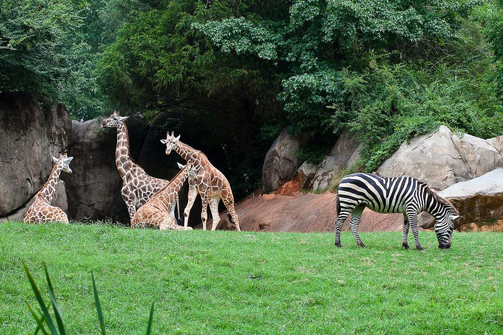 zebra-among-giraffes-irishwildcat